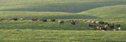 Cattle on a Thousand Hills 12x36