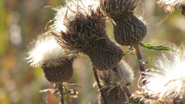 Fluffy Fall Buds I