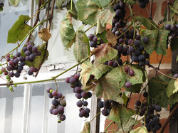 Rustic Vines I