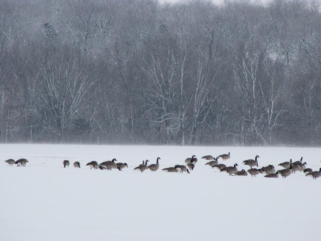 Field of Winter Geese