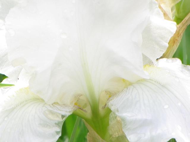 Angelic Iris