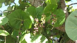 Wild Grapes II