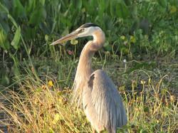 Florida Crane at Dusk