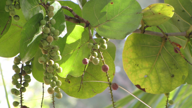 Wild Grapes I