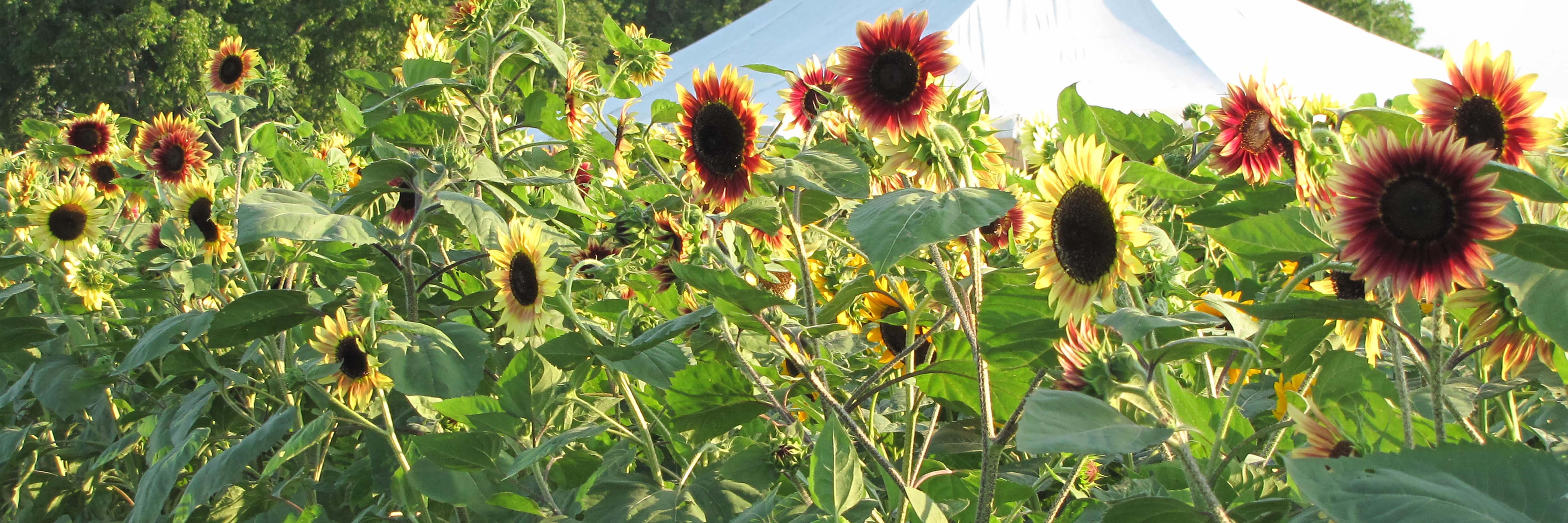 Colorful Sunflowers-Horizontal