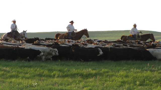 Cattle Run