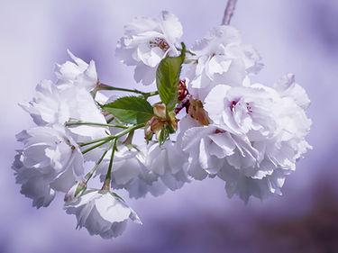 cherry-blossoms-4115675.jpg