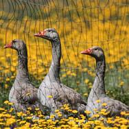 Monte-da-Choça-farm-animals-Geese.JPG