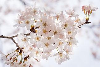 cherry-blossom-1292211.jpg