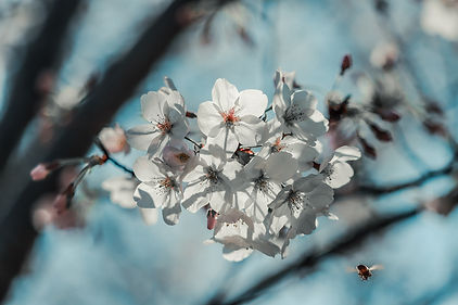 cherry-blossom-4975840.jpg