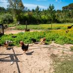 galinhas-animais-férias-portugal-Crianças-quinta.jpg