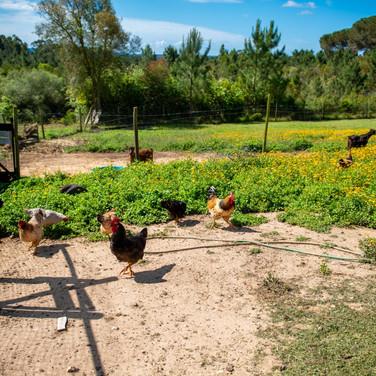 Hühner-Tiere-Ziegen-Urlaub-Ferien-Bauernhof-Kinder-Portugal.jpg