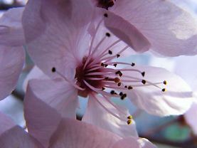 spring-cherry-blossom-2728648_edited.jpg