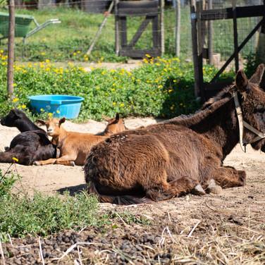 Esel-tiere-Ferien-auf-dem-bauernhof-Tiere-Ziegen-natur-Kinderfreundlich-portugal.jpg