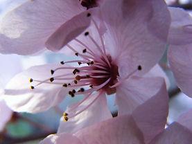 spring-cherry-blossom-2728648.jpg