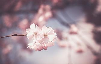 cherry-blossom-1326168.jpg