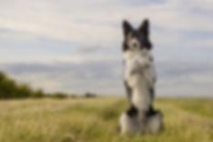 dog_border_collie_doing_tricks.jpg.838x0