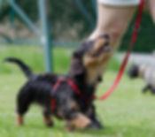 dachshund-672780_1920.jpg