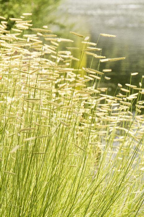 Bouleloua gracilis 'Blonde Ambition' ('Blonde Ambition' blue grama grass)