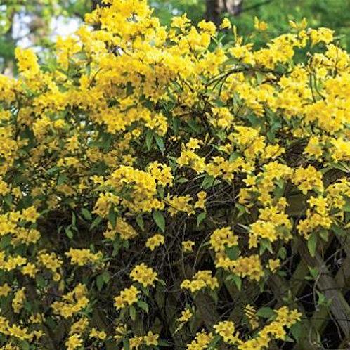 Gelsemium sempervirens (Carolina yellow jessamine)