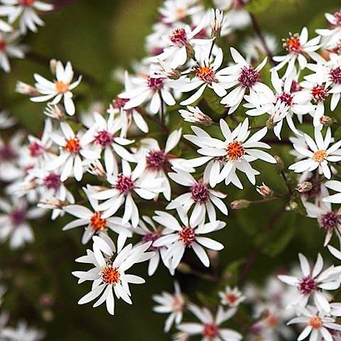 Aster divaricatus (White woodland aster)