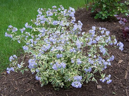 Polemonium reptans 'Stairway to Heaven' ('Stairway to Heaven' Jacob's ladder)