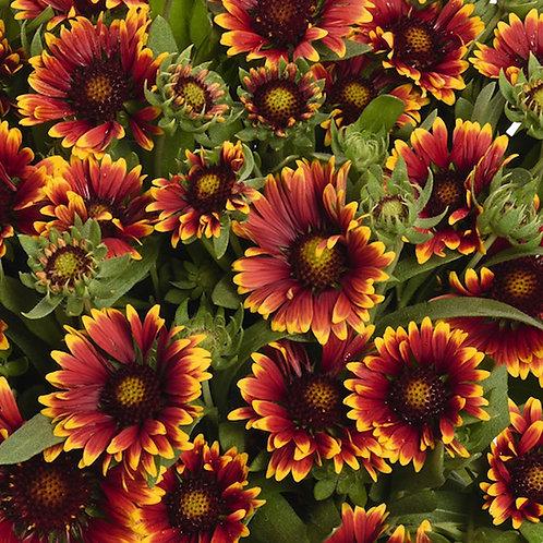 Gaillardia aristata Spin Top 'Orange Halo' ('Orange Halo' blanket flower)