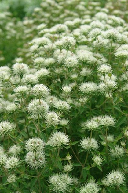 Pycnanthemum flexuosum (Appalachain mountain mint)