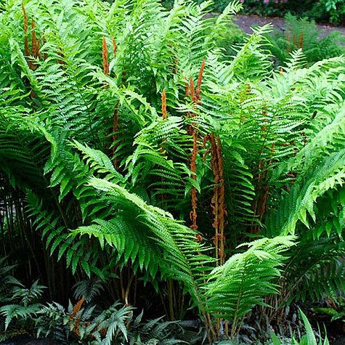 Cinnamon fern (Cinnamon fern)