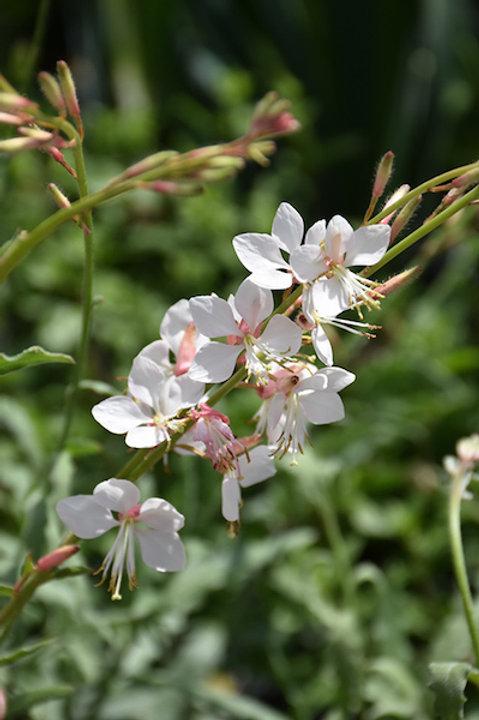 Gaura lindheimeri 'Whirling Butterflies' ('Whirling Butterflies' wand flower)