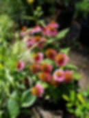 Echinacea, coneflower 'Pow Wow Wild Berr