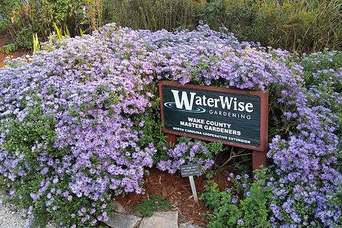 Aster novae-angliae 'Purple Dome' ('Purple Dome' aster)