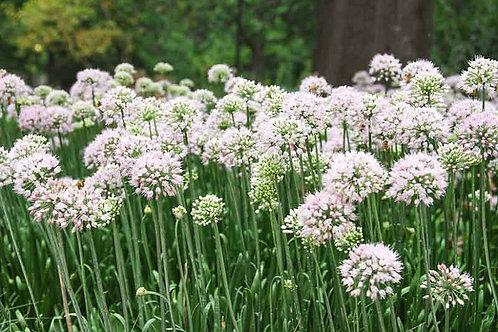 Allium cernuum 'Summer Beauty' ('Summer Beauty' flowering onion)