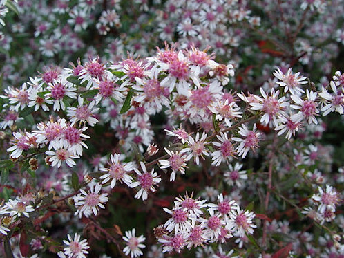 Symphyotrichum lateriflorum 'Lady in Black' (Calico aster)