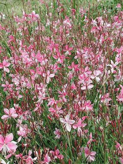 Gaura lindheimeri 'Siskiyou Pink' ('Siskiyou Pink' wand flower)