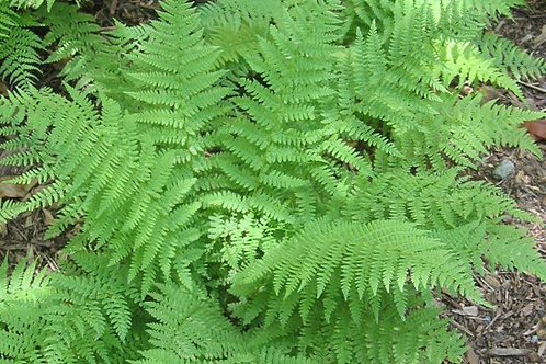 Thelypteris kunthii (southern river wood fern)