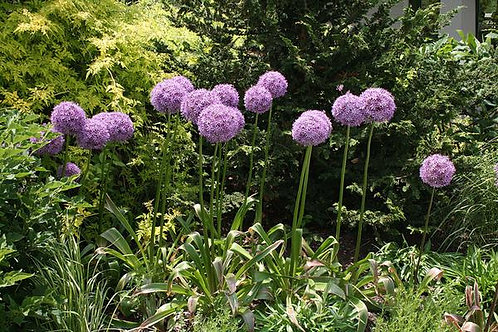 Allium cenuum 'Millenium' ('Millenium' flowering onion)