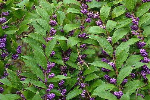 Callicarpa americana (purple beautyberry)