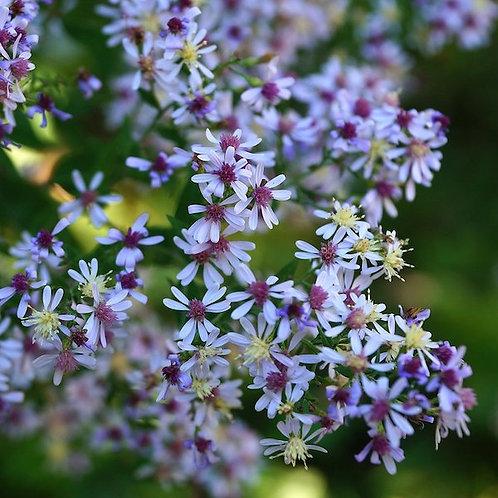 Aster cordifolius (Blue woodland aster)