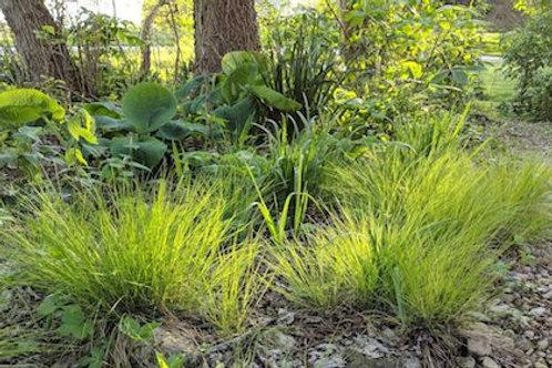 Carex appalachica (Appalachain sedge)
