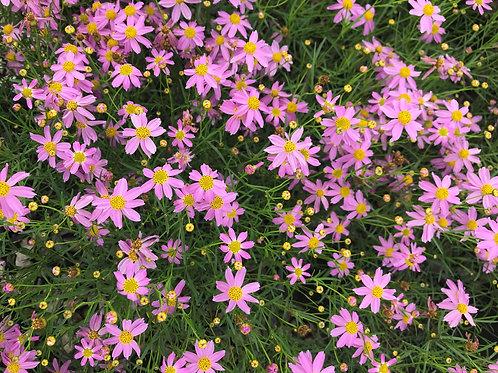 Coreopsis rosea 'American Dream' ('American Dream' tickseed)