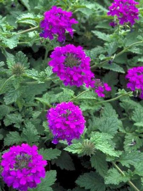 Verbena canadensis 'Homestead Purple' (Homestead Purple' verbena)