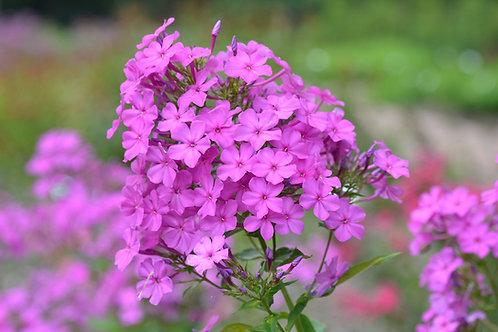 Phlox paniculata 'Robert Poore' (Garden phlox)