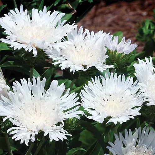 Stokesia laevis 'Divinity' (White Stoke's aster)