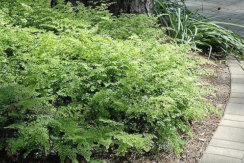Adiantum capillus-veneris (Southern maidenhair fern)