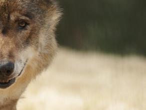 Leren van wolven - over leven, werken en leidinggeven