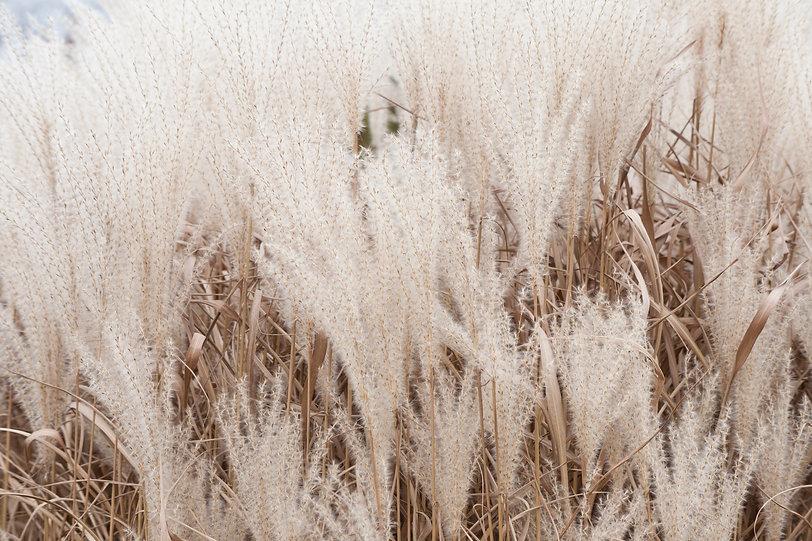 Very fluffy silver pampas grasses.jpg