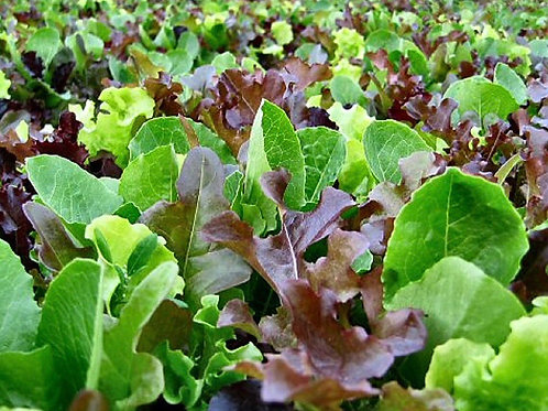 (Sow:Sept - Oct) Lettuce Baby Mixed Leaf Compostable Seed Tape -Approx 540 Seeds