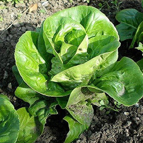 (Sow: Sept - Oct) Lettuce Little GEM Compostable Seed Tape - Approx 600 Seeds