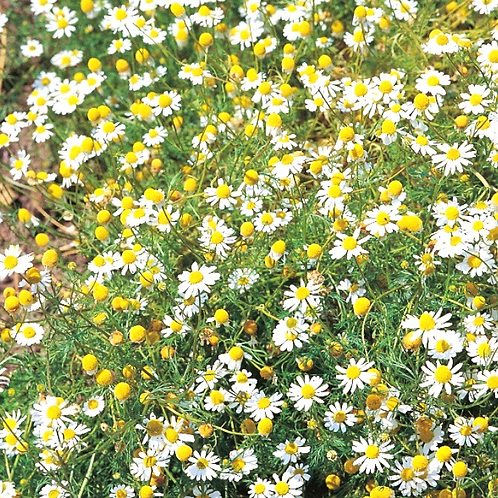 Annual Chamomile Seeds (Pack of 400 seeds)